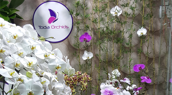 Hoa Lan Hồ Điệp Toda Orchids