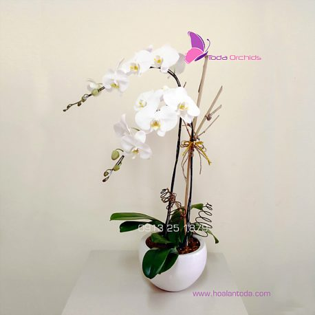 chau hoa lan ho diep trang 2 canh