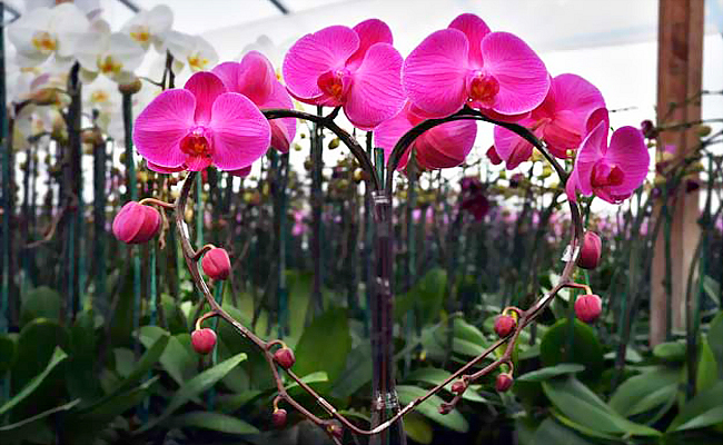tang hoa lan ho diep co y nghia gi trong tinh yeu