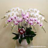 Hoa lan đẹp ngày 20/10 tặng chị em ngày phụ nữ việt nam