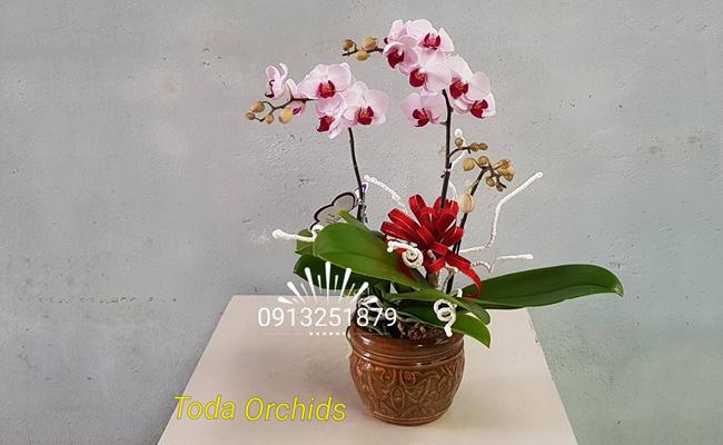Lan hồ điệp loài Hoa tặng ngày Phụ nữ Việt Nam 20-10 ý nghĩa